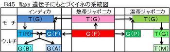 B45 イネの系統図.jpg