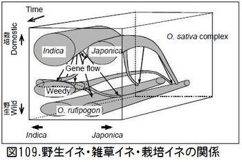 図109雑草イネ起源.jpg
