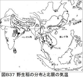 B37野生稲.jpg