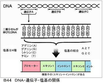 B44DNA.jpg