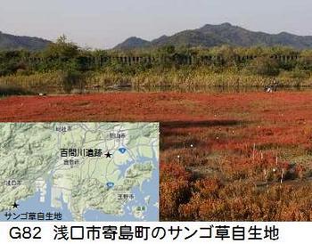G82 岡山サンゴ草.jpg